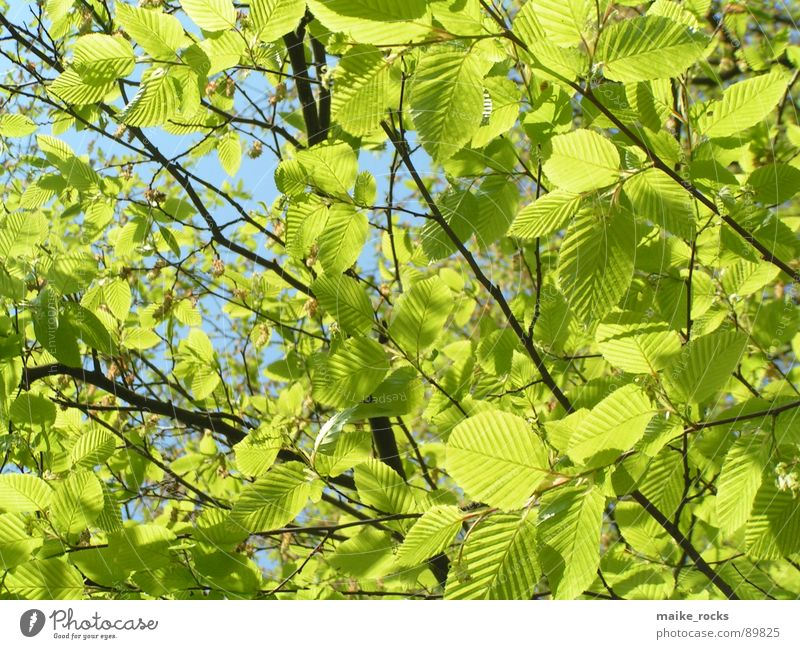 It greenens so green _3 Leaf Green Tree Spring Seasons Fresh Exterior shot Nature Colour Blue Branch Landscape Twig Life