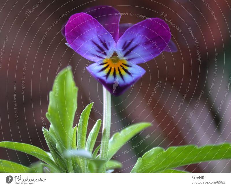 pansies Flower Plant Blossom