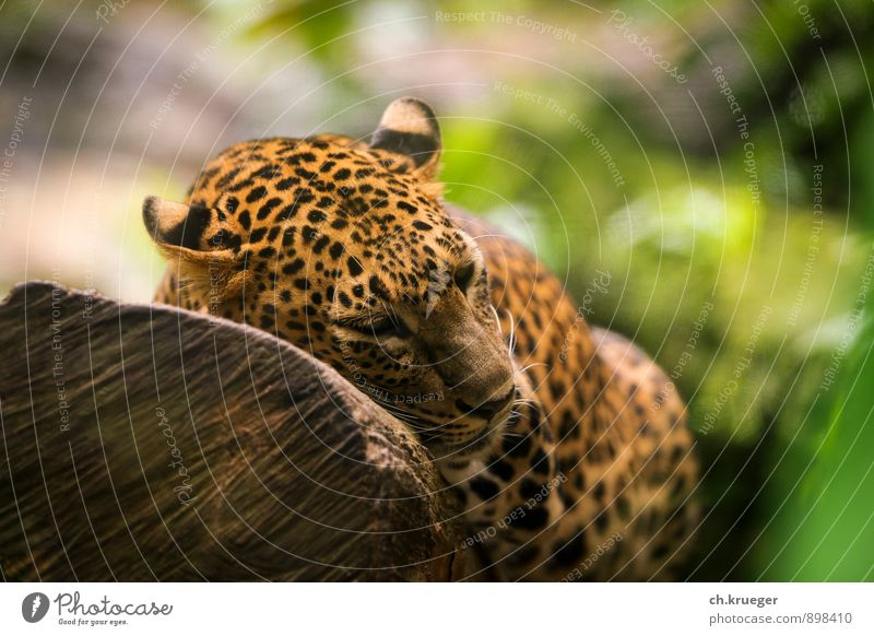 sleeping leopard Nature Animal Wild animal Cat Animal face Pelt Zoo 1 Lie Sleep Aggression Athletic Elegant Panther Tiger jungle Big cat Land-based carnivore