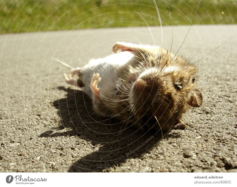 Animal Street Lanes & trails Grass Death Small Lie Wild Floor covering Asphalt Pelt Hunting Paw Accident Blood Mouse
