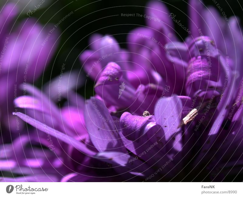 Plant Blossom Violet