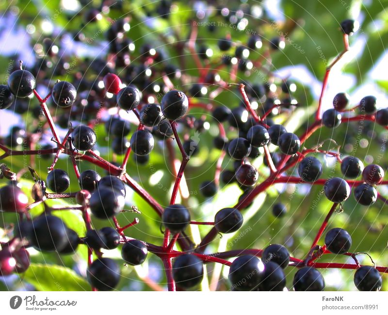 Tree Berries Fruit Elder