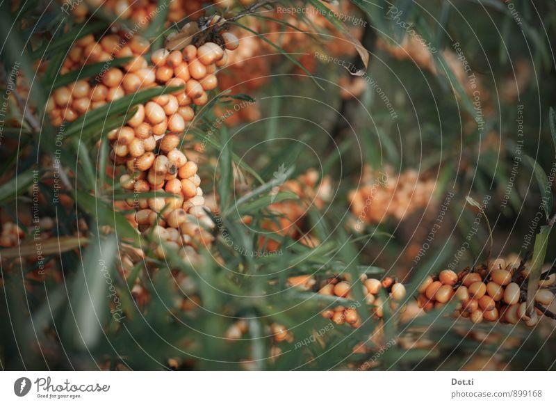 Nature Plant Green Healthy Orange Fruit Bushes Mature Berries Wild plant Sour Vitamin-rich Sallow thorn