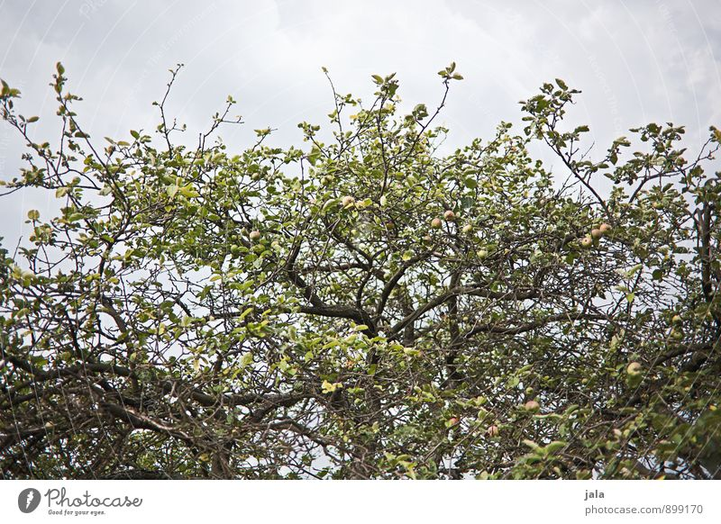 apple Food Apple Environment Nature Plant Sky Tree Agricultural crop Apple tree Garden Healthy Natural Colour photo Exterior shot Deserted Day