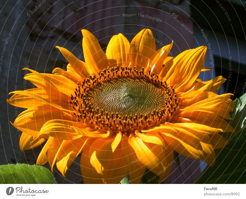 Plant Yellow Blossom Sunflower