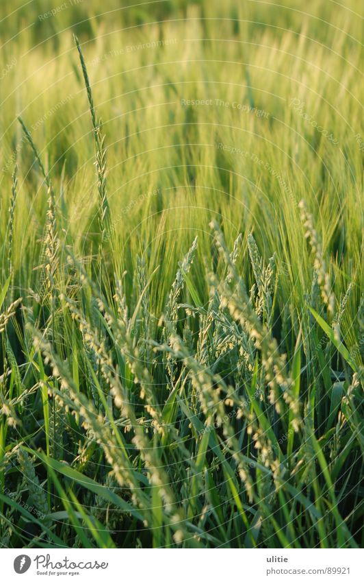 Green Summer Grass Field Agriculture Harvest Ear of corn Barley Result Crops