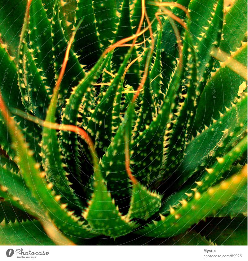 Nature Green Plant Growth Dangerous Desert Succulent plants Cactus Thorn Flourish Harm