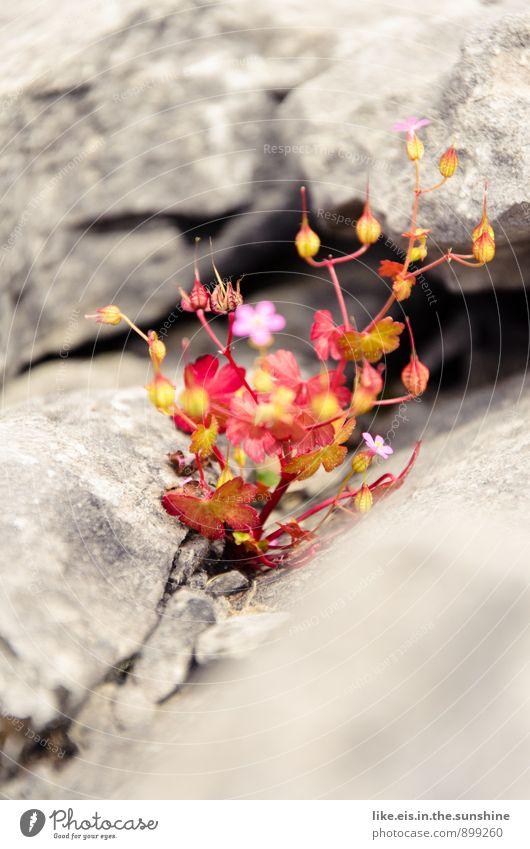 Ireland's flowery Burren Environment Nature Landscape Stone desert Flower Rock Stony Colour photo