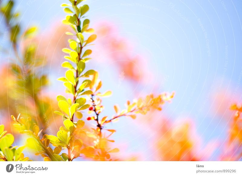 Sky Nature Plant Autumn Bright Illuminate Bushes Change Colouring Shaft of light Bright Colours Barberry