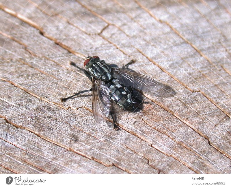 Wood Fly Insect