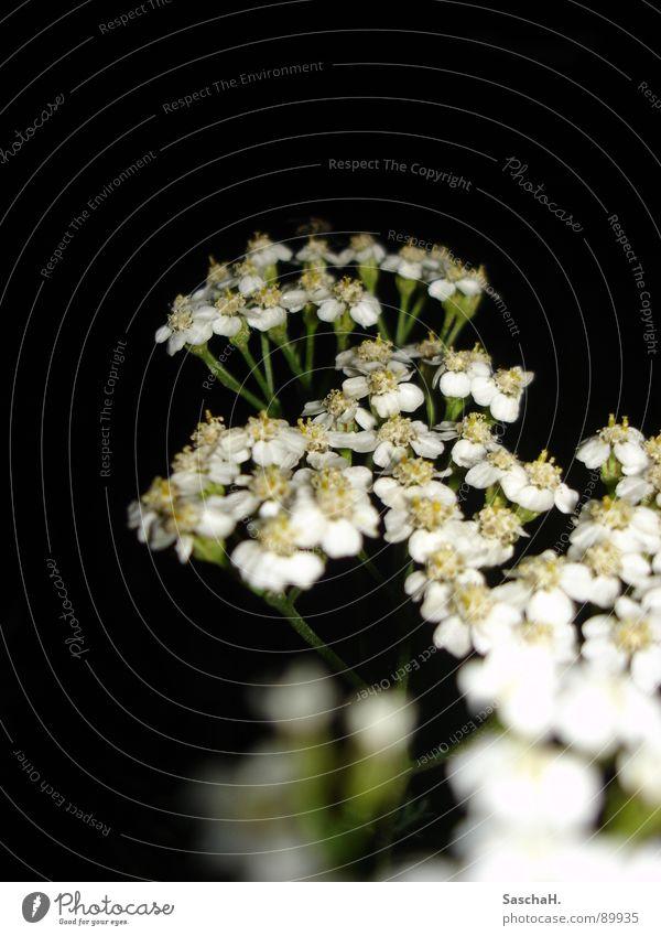 little flower Flower White Black Night Blossom Near Macro (Extreme close-up)