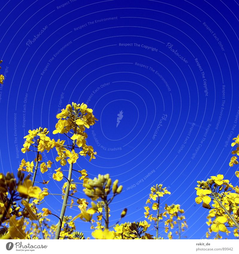 Rape oh the one in blue Yellow Canola Tracks Parallel Field Bio-diesel Middle Colour useful plant Odor stroked in the landscape yellow desert Blue