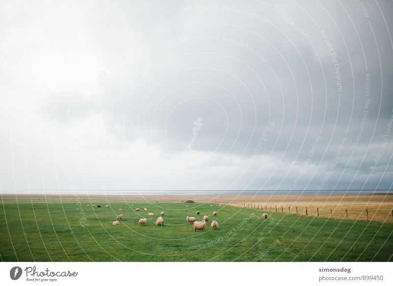I'm in Iceland. Landscape Clouds Horizon Bad weather Animal Farm animal Group of animals Herd Green Flock Sheep Pasture Juicy sheep pasture Elapse