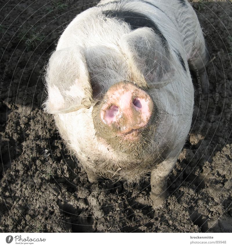 Animal Happy Dirty Ear Farm Pigs Barn Mammal Swine Snout Sow Piglet Vision Good luck charm Pigsty Pork