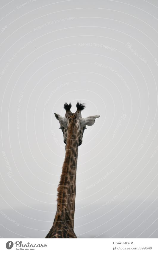bleak prospects Animal Bad weather Fog National Park Wild animal Giraffe Even-toed ungulate Mammal 1 Stand Dream Sadness Wait Simple Exotic Infinity Tall Long