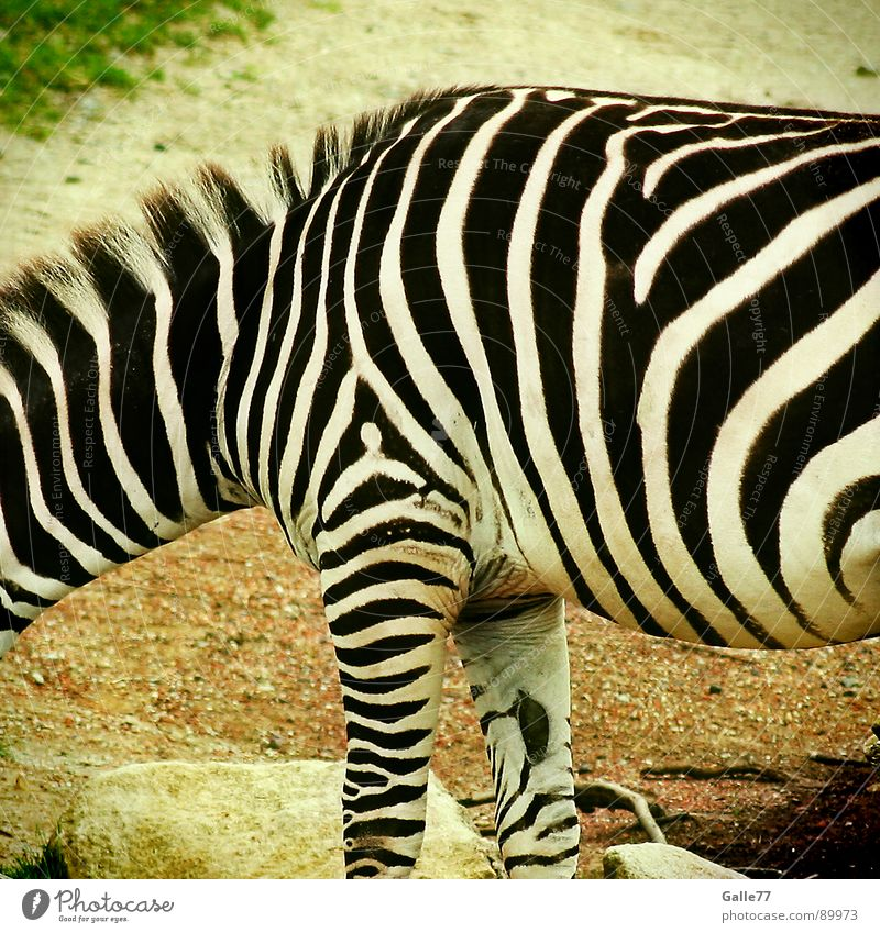 Hello Mr. Zebra Animal Stripe Black White Progress Fat Thin Painting and drawing (object) Pattern Horizontal Vertical Mane Zoo Africa Steppe Mammal Line
