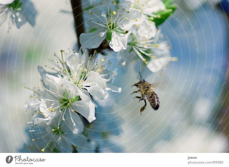 Beautiful Green Blue Summer Blossom Spring Flying Wing Insect Transience Bee Honey Blossom leave Sky blue Cherry blossom Deciduous tree