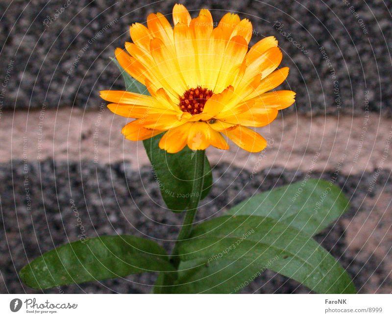 marigold Flower Yellow