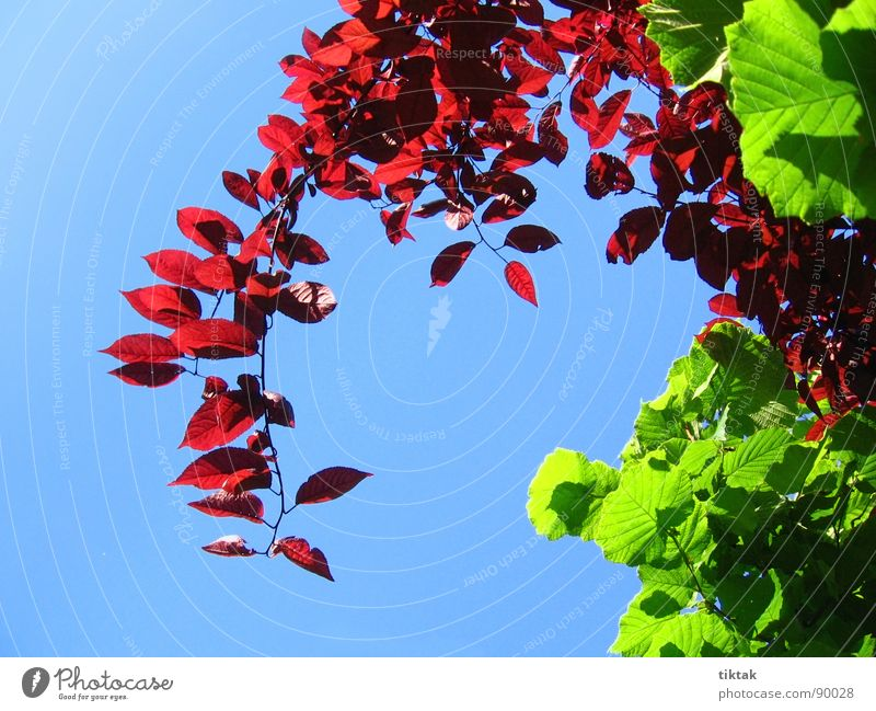 Nature Tree Green Blue Plant Red Leaf Spring Garden Fresh New Growth Bushes Twig Ease Blue sky