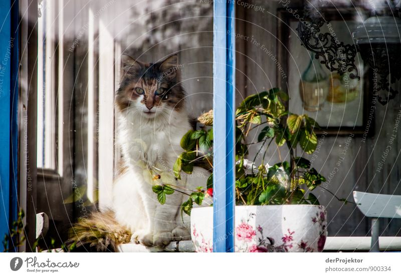 Cat at the window in Sweden Environment Animal Fishing village House (Residential Structure) Dream house Window Pet 1 Emotions Moody Joy Contentment Brave
