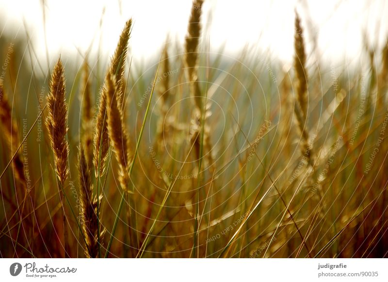 Grass again Yellow Stalk Blade of grass Ear of corn Glittering Beautiful Soft Hissing Meadow Delicate Flexible Sensitive Pennate Back-light Summer Beach Coast