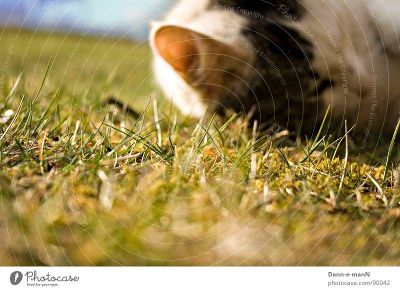 Hearing the grass grow Grass Meadow Green Spring Summer Cat Pet Mammal Domestic cat Ear
