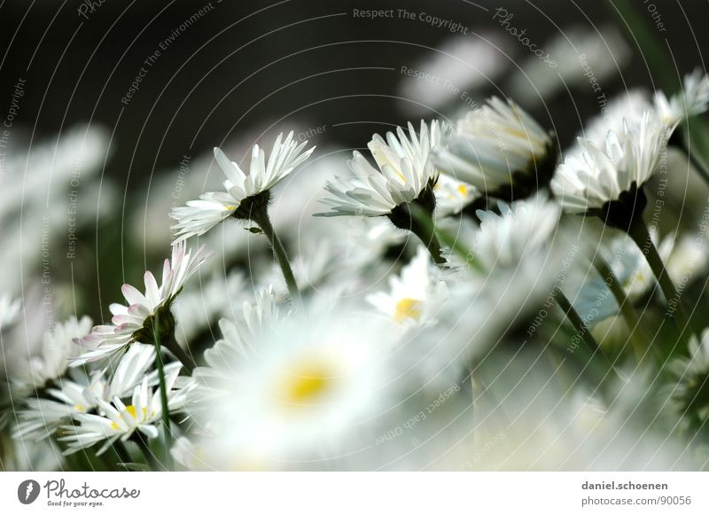 my daisy contribution Daisy Meadow Blossom Flower Grass Background picture White Green Yellow Spring Flower meadow Lawn
