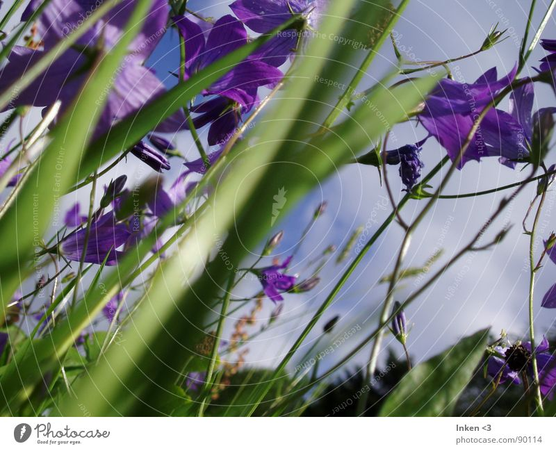 Bells in the wind Flower Meadow Summer Green Violet Grass Wind Nature Americas