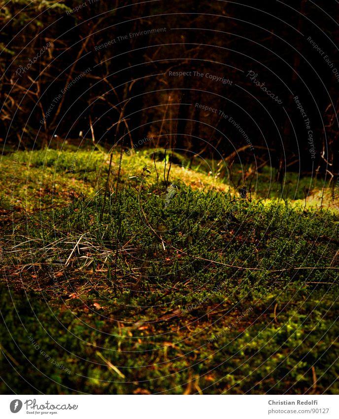 Nature Tree Forest Dark Bright Moss Branchage Resume Rachis Clearing Wilderness Woodground Spruce