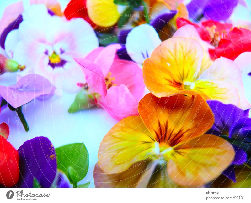 little flowers Flower Blossom Multicoloured Spring Decoration Violet Pink Pansy Gaudy Flowers. blossom Pollen Orange Pistil