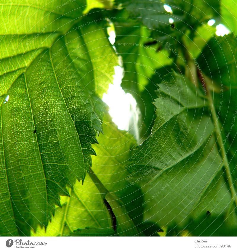 Nature Tree Sun Green Plant Colour Spring Garden Park Hedge Beech tree