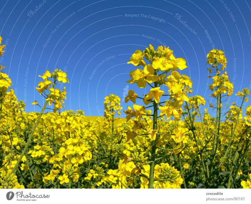 rap #12 Canola Field Spring Ecological Diesel Carbon dioxide Climate change Yellow Stripe Stalk Oxygen Agriculture Leaf green Organic produce Blossoming Sky