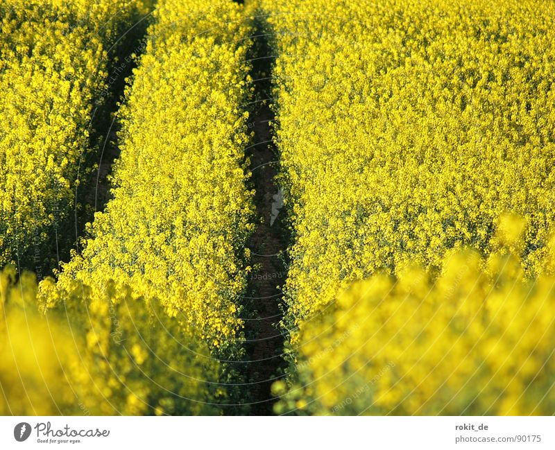 Full throttle through the rapeseed field Yellow Canola Tracks Parallel Field Bio-diesel Middle useful plant Odor Upward Downward mountain and valley railway
