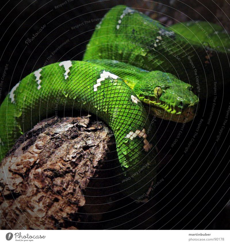 Such a rascal. Green Whorl Greeny-yellow White Placed Terrarium Green mamba Tepid Sleep Dangerous Fear Panic Snake Poison Loop Skin Barn Dappled on the tree