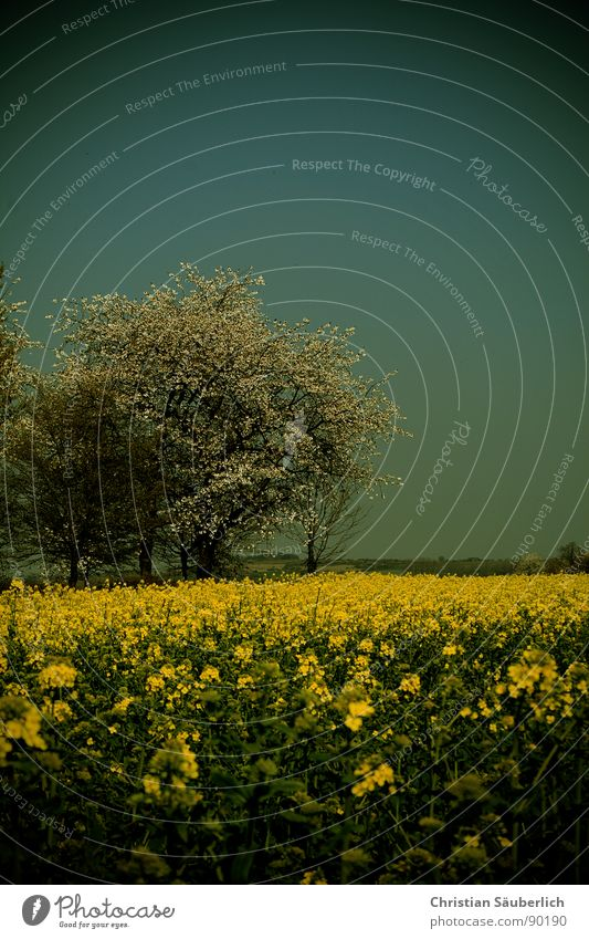 Sky Tree Green Yellow Spring Field Agriculture Canola Bio-fuel Oilseed rape oil