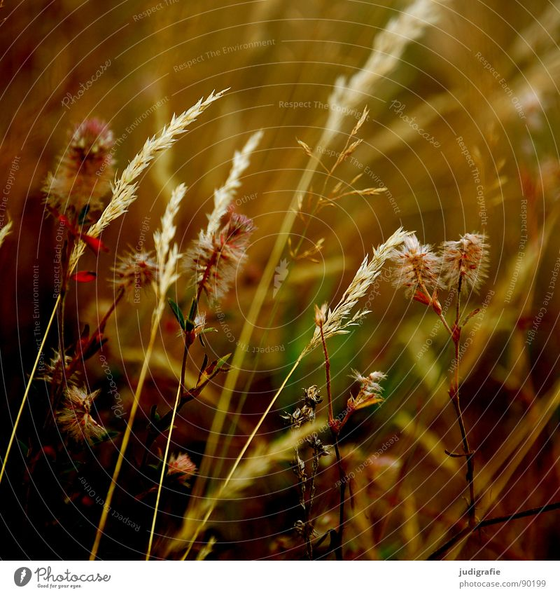 Beautiful Summer Yellow Meadow Grass Orange Wind Gold Glittering Soft Delicate Pasture Stalk Blade of grass Smooth Flexible