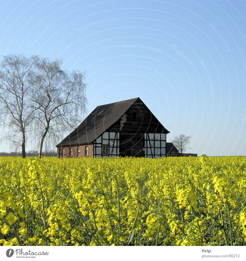 old half-timbered house with trees behind a flowering rape field House (Residential Structure) Environment Nature Landscape Plant Cloudless sky Spring Tree