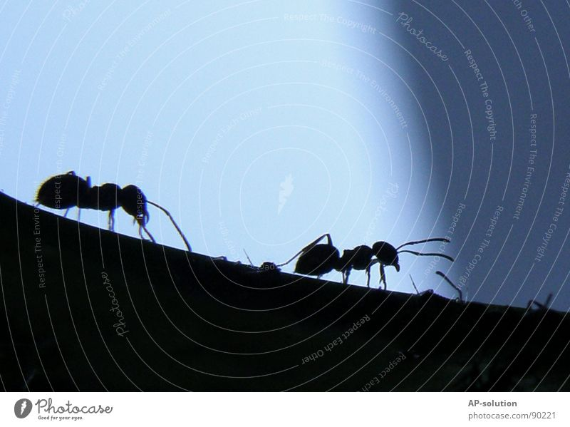 ants Ant Waldameise Animal Crawl Insect Small Diminutive Black Pests Diligent Work and employment Working man Nature Macro (Extreme close-up) Shorts Silhouette