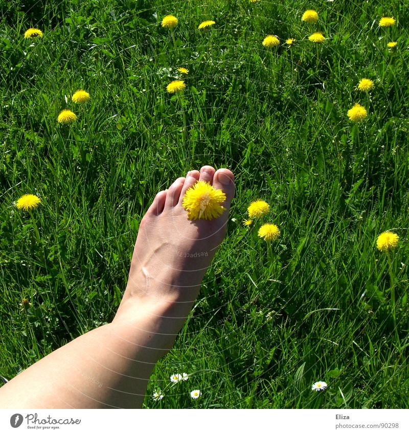 Bare foot with dandelion blossom in green grass Relaxation Fragrance Playing Summer Sunbathing Legs Feet Nature Plant Spring Warmth Flower Grass Blossom Meadow