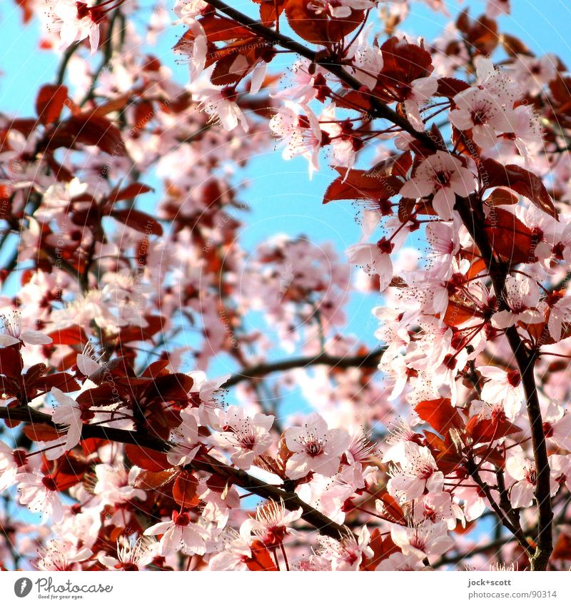 Cherry blossom front (sakura censors) Culture Japanese Cloudless sky spring Blossoming Kitsch natural Many Warmth Blue Pink Moody Spring fever already Beginning
