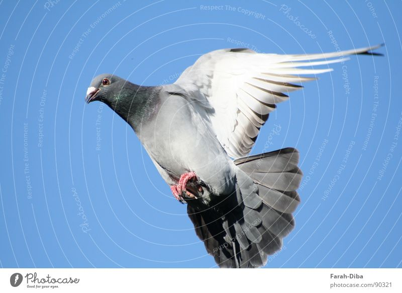 landing approach Life Freedom Sky Bird Pigeon Flying Above Clean Speed Blue Gray Peaceful Dependability Contact Pure Homing pigeon Airplane race Feather Smooth