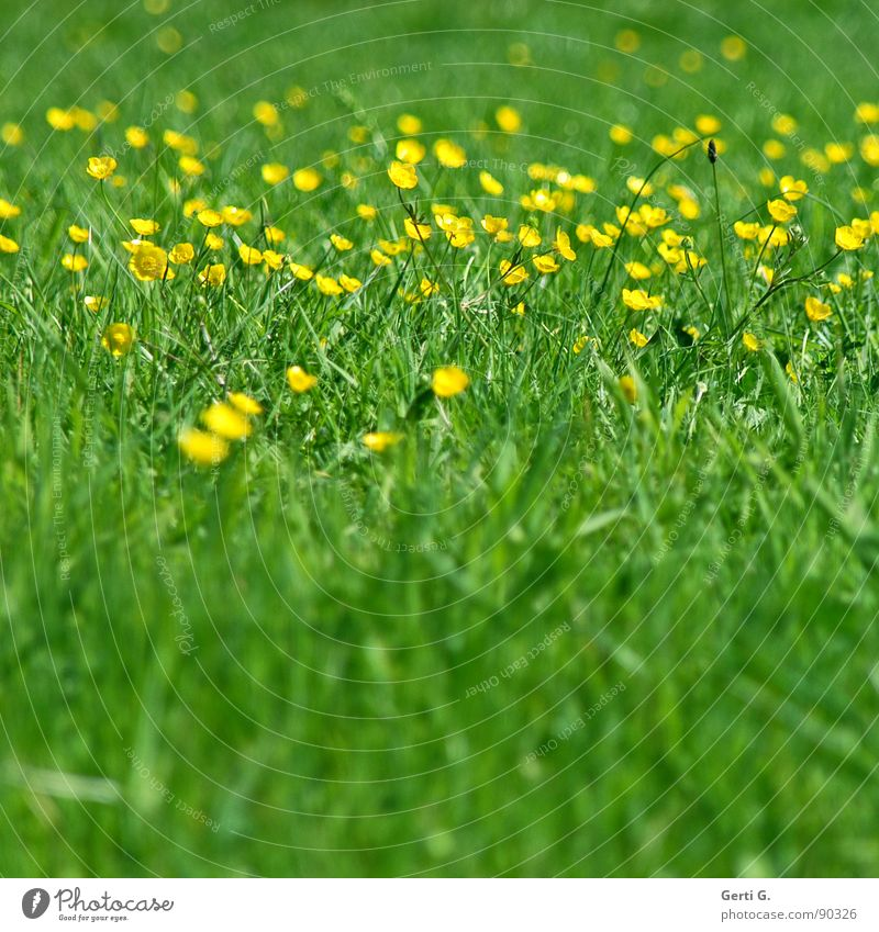 everything in butter Meadow Grass Green space Yellow Bright yellow Flower Blossom Greeny-yellow Blade of grass Spring Summer Summery Multicoloured Fresh