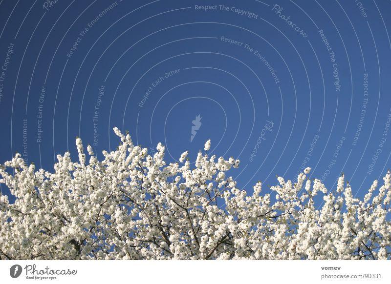 cherry blossom Cherry blossom Blossom Tree White Spring Sky Blue Cherry tree Colour