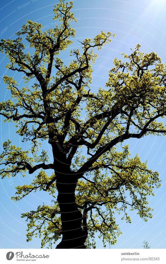 Sky Tree Blue Spring Growth Multiple Branch Many Tree trunk Twig Bud Sky blue Spring fever Fertile Maturing time