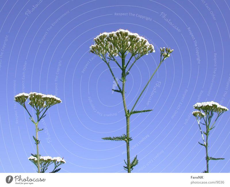 yarrow Plant Blossom Flower Sky Blue