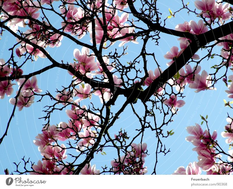 As everywhere in April Garden Nature Plant Air Sky Spring Beautiful weather Tree Blossom Park Blossoming Jump Growth Blue Pink Colour Magnolia plants Splendid
