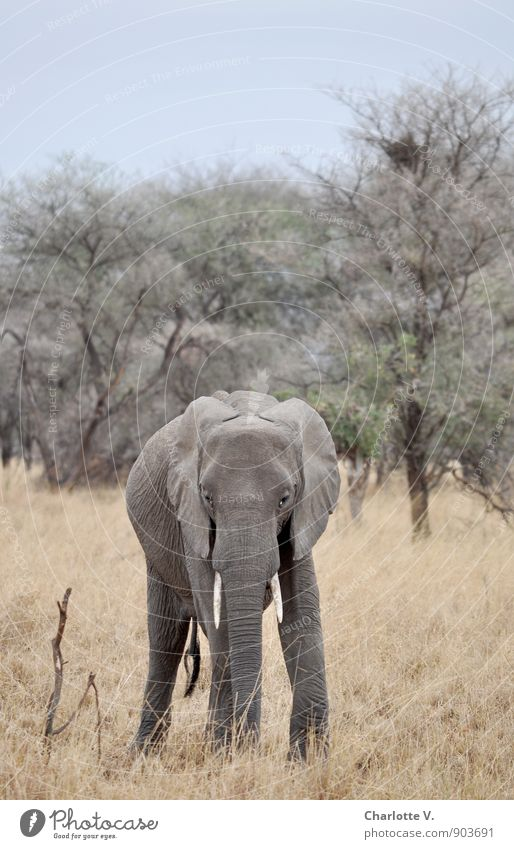 Up to here... Nature Animal Cloudless sky Summer Beautiful weather National Park Tarangire National Park African Steppe Wild animal Elephant African Elephant 1