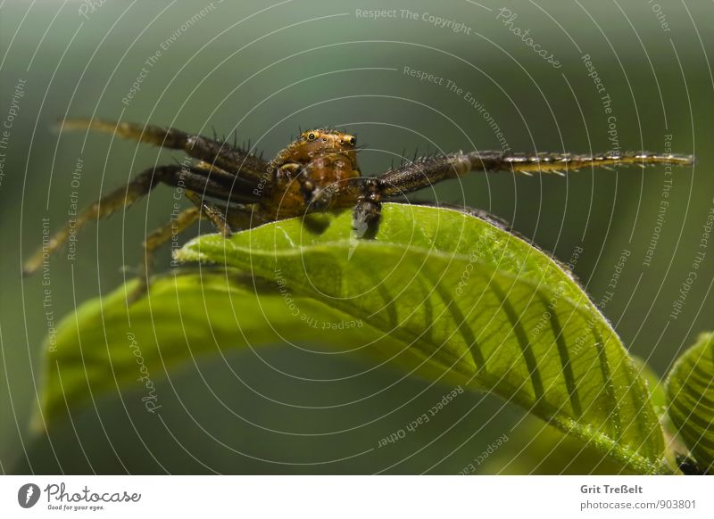 crab spider Animal Wild animal Spider Hunting Wait Threat Success Near Brown Green Time Colour photo Close-up Macro (Extreme close-up) Neutral Background Day