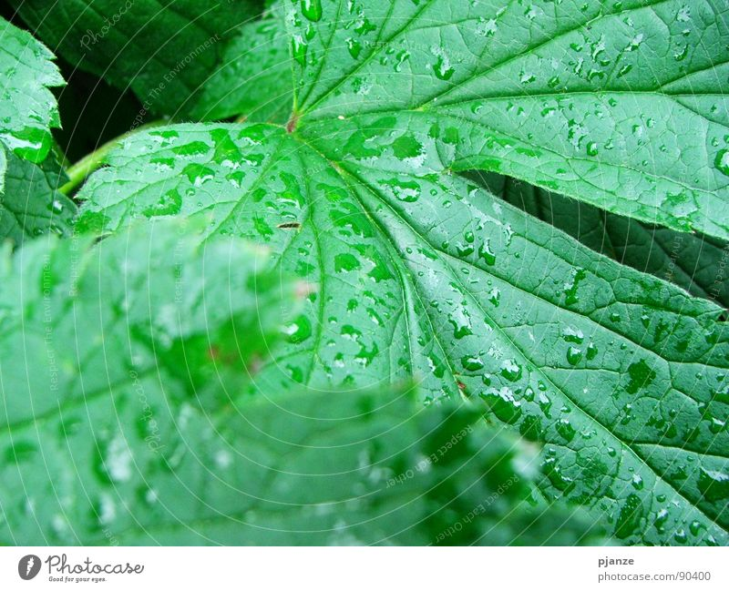 After the rain... Rain Green Plant Leaf Vessel Rachis Juicy Garden Park Water Vine Drops of water