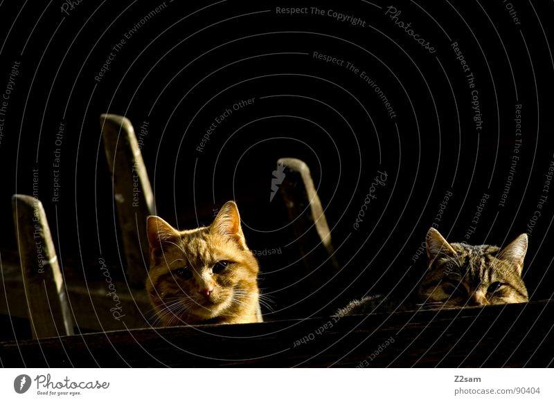 Animal Love Dark Wood Cat Bright 2 Blonde Pair of animals Glittering In pairs Sweet Roof Cute Observe Pelt